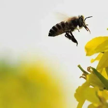 中华蜜蜂虫害防治技术 别说我没告诉你
