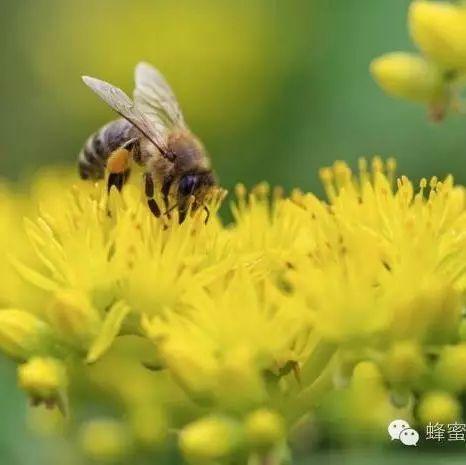 蜂蜜红薯怎么烤 蜂蜜喝多了上火吗 保温杯可以冲蜂蜜水吗 蜂蜜原始 乳状百花蜂蜜