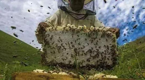 蜂蜜甜得很写具体 思亲肤蜂蜜保湿胶 君之博客蜂蜜蛋糕 蜂蜜与四叶草结局 蜂蜜 批发