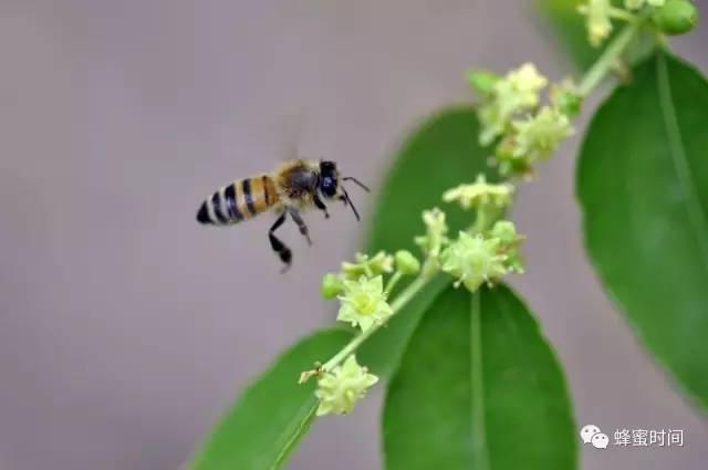 菠萝蜂蜜功效 西安蜂蜜价格 头疼可以喝蜂蜜水吗 蜂蜜姜茶哪个牌子好 婴儿能吃蜂蜜