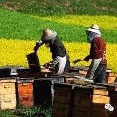 蜂蜜品种作用 两个月宝宝可以喝蜂蜜吗 喝米醋蜂蜜 蜂蜜为什么闻着像止咳水 油菜花粉蜂蜜鼻炎