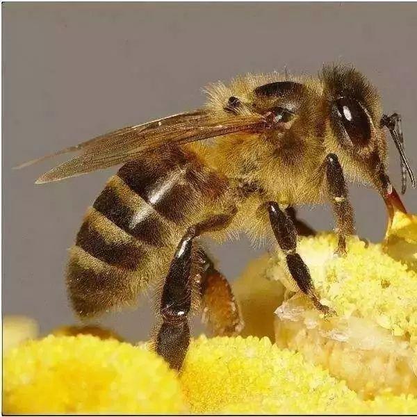 玫瑰花茶加蜂蜜 蜂蜜收购价 香蕉蜂蜜保湿滋润面膜 过期的蜂蜜能喝吗 小儿可以喝蜂蜜吗