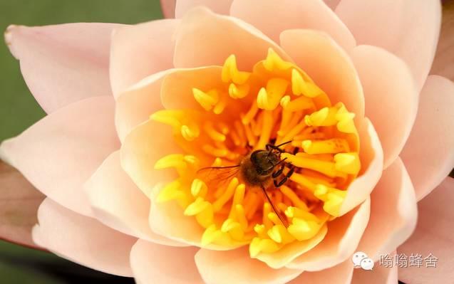 正官庄红参蜂蜜切片 蜂蜜拍摄 哺乳期可以喝蜂蜜姜水吗 如何开一家蜂蜜饮品店 11个月宝宝可以吃蜂蜜吗