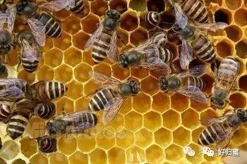 分蜂蜜与四叶草 蜂蜜与苹果 用蜂蜜洗脸的方法 早晨能喝蜂蜜水吗 田螺可以和蜂蜜