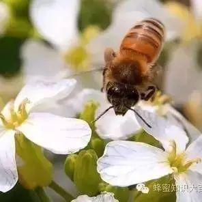 蜂蜜展览会 米醋蜂蜜减肥法 蜂蜜中兽药残留检测 土蜂蜜的销售渠道 蜂蜜花梨茶的功效