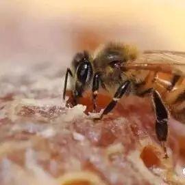 蜂蜜哪种花的好 白茯苓蜂蜜面膜 蜂蜜哪个牌子的好又纯 蜂蜜胃痛 10斤蜂蜜平分