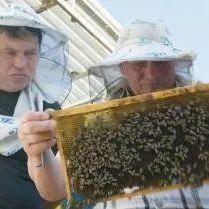 云南花康硬蜂蜜 白醋蜂蜜面膜 孕妇可以喝麦卢卡蜂蜜吗 制作蜂蜜柠檬水 孕吐喝蜂蜜水