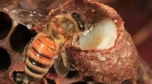 金毛蜂蜜水 蜂蜜香精成分 健身多少蜂蜜 荷花蜂蜜的功效 蜂蜜与四叶草第二部国语版