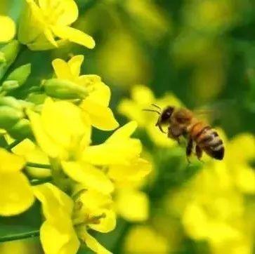 孕妇可以吗喝蜂蜜 蜂蜜泡黑芝麻 黄花菜加蜂蜜 乳腺增生不能吃蜂蜜 河南土蜂蜜加盟