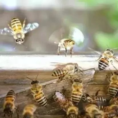 柠檬蜂蜜怎么腌制 柠檬蜂蜜茶叶 蜂蜜水和小葱 蜂蜜抹茶蛋糕 晚上可以喝生姜红茶蜂蜜吗