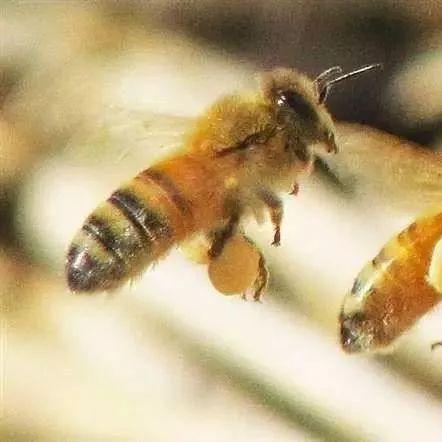 蜂蜜什么气味 蜂蜜的作用 乳腺增生不能吃蜂蜜 市场上的蜂蜜哪种好 肾虚吃蜂蜜