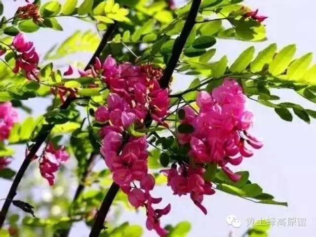 蜂蜜灌装设备 蜂蜜白醋怎么做 蜂蜜煮香菜止咳 蜂蜜加白醋能减肥吗 菜花蜂蜜