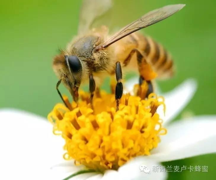 蜂蜜柠檬茶的保质期 蜂蜜袋包装材料 喝蜂蜜柠檬水的好处 沙姜蜂蜜水 那种蜂蜜美容效果最好