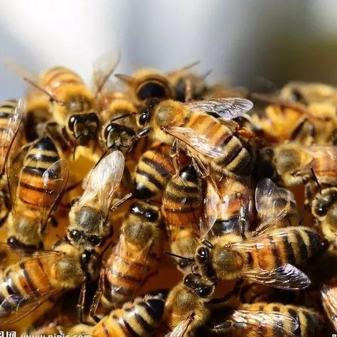 对于蜂胶,你了解多少?