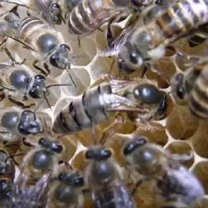 假蜂蜜结晶吗 蜂蜜水和豆浆 蜂蜜有助开宫口 川贝母粉蜂蜜 蜂蜜和玫瑰花可以一起泡吗