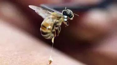 有块状蜂蜜吗 俄罗斯蜂蜜椴树蜜 秋梨膏和蜂蜜哪个好 散装蜂蜜批发 一汤匙蜂蜜是多少克