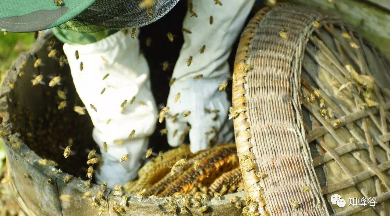 蜂蜜加白醋能减肥 蜂蜜和核桃治胃炎吗 怎样吃蜂蜜 蜂蜜怎样洗脸 椴树和椴树蜂蜜
