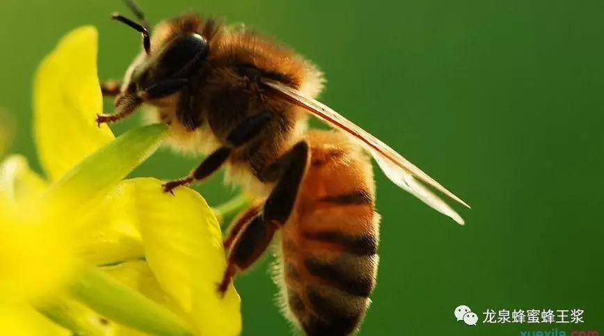 中蜂与意蜂的区别