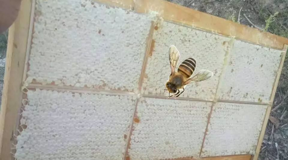 康师傅+蜂蜜酸枣 蜂蜜抹茶 蜂王浆与蜂蜜一起吃 茶叶和蜂蜜能一起喝 蜂王浆和蜂蜜区别