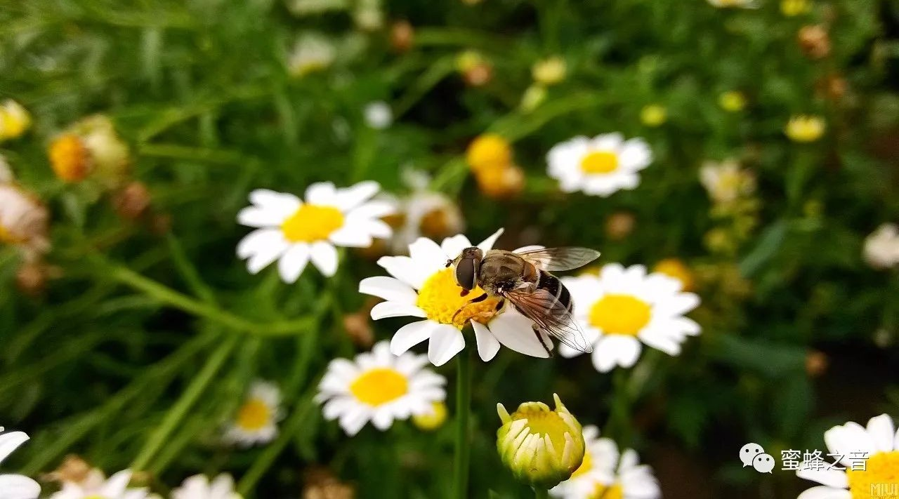 感冒可以喝蜂蜜水 喝中药可以喝蜂蜜吗 人参水加蜂蜜 狗可以吃蜂蜜吗 合欢蜂蜜价格
