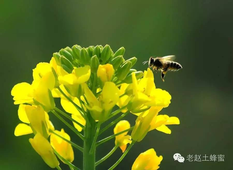 蜂蜜怎么吃减肥 蜂蜜和红小豆 一天喝多少蜂蜜好 麦卢卡蜂蜜,儿童 蜂蜜柠檬茶批发价格