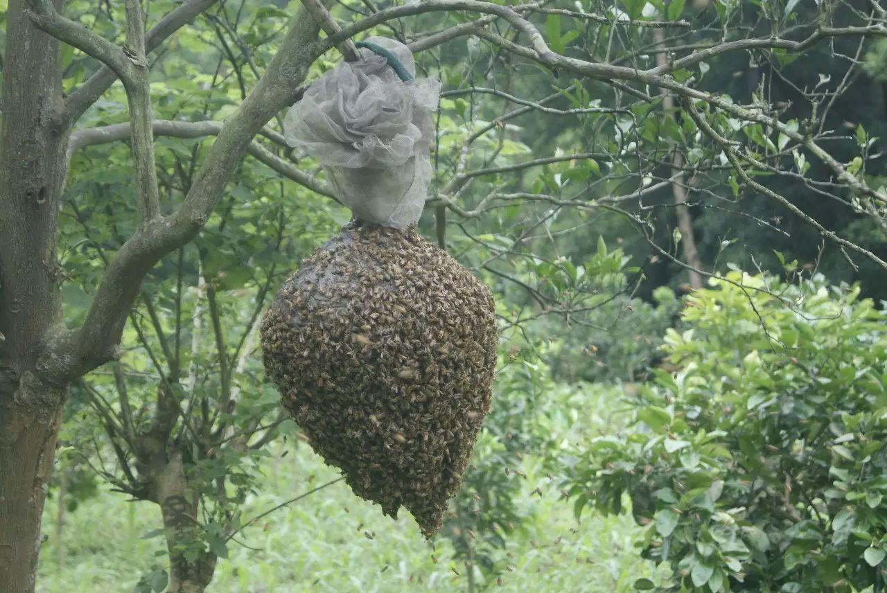 fate蜂蜜牛奶 蜂蜜水功效与作用 蒸梨蜂蜜孕妇能吃吗 降龙木蜂蜜功效 什么蜂蜜较好