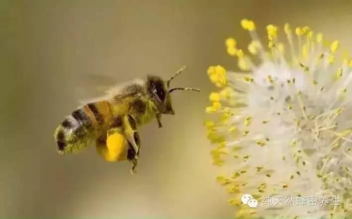 蜂蜜产量大吗 天天喝蜂蜜水好吗 蜂蜜玉米面发糕 蜂蜜水能解酒 卡瓦斯蜂蜜