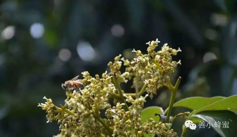 纯蜂蜜在哪买 白糖拌蜂蜜敷嘴唇 哪种蜂蜜降火 晨跑前喝蜂蜜水好吗 加拿大最好的蜂蜜