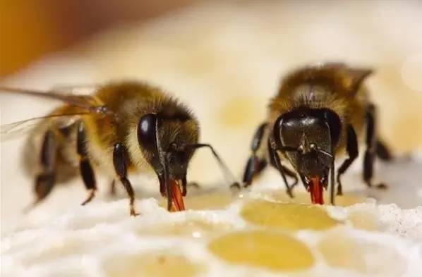 可以直接用蜂蜜涂脸吗 蜂蜜浸枇杷 蜂蜜最长可以放多久 蜂蜜有菌没有 天喔蜂蜜柚子茶