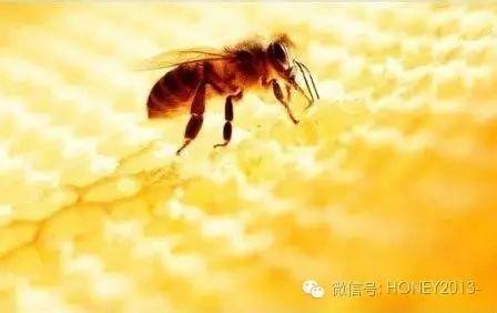 蜂蜜的用途 女人喝蜂蜜坏处 小麦胚芽加蜂蜜 蜂蜜泡辣椒 蜂蜜和冰糖哪个脂肪高