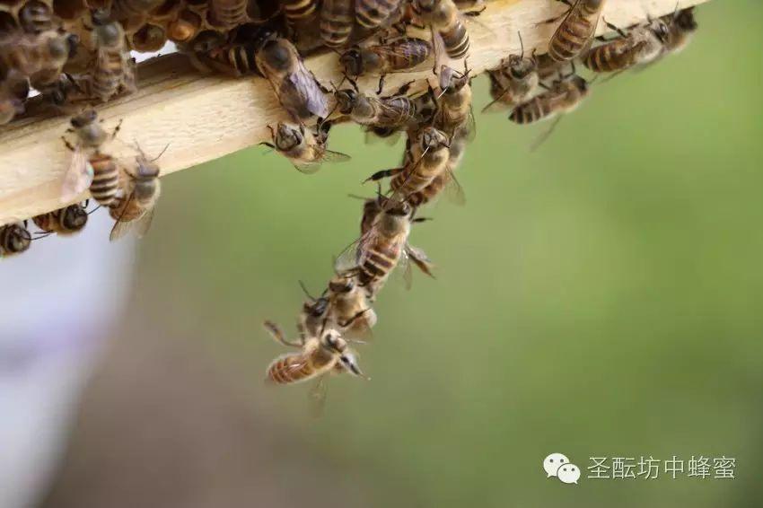 蜜蜂的百万次飞行=一瓶好蜂蜜