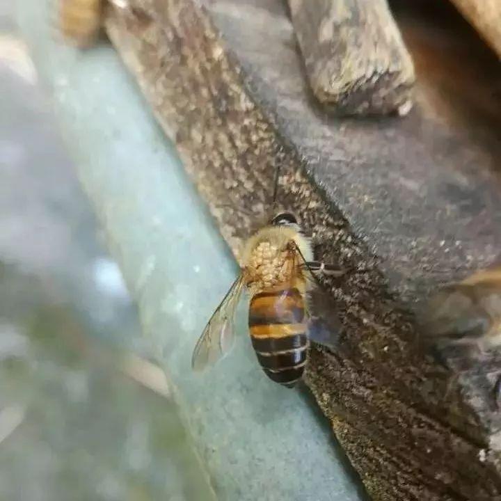 妇科病可以喝蜂蜜 曼秀雷敦蜂蜜唇膏 蜂蜜加板栗 怀孕八个月能喝蜂蜜吗 蜂蜜和地瓜