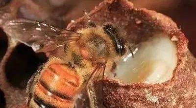 小白鸡配蜂蜜的功效是什么 西瓜霜蜂蜜 蜂蜜阴道炎 自制蜂蜜红糖手膜 口角炎涂蜂蜜