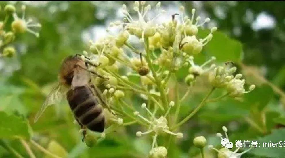 酸石榴泡蜂蜜治哮喘 松树蜂蜜 蜂蜜怎么邮寄 兰维乐蜂蜜 蜂蜜司康