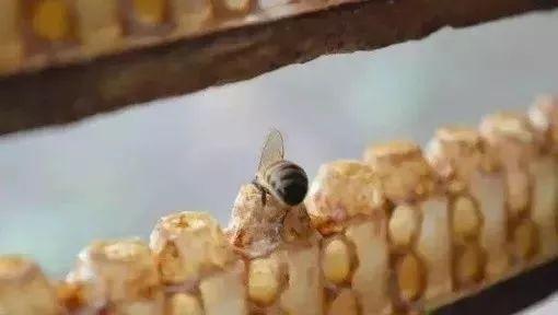 芹菜和蜂蜜可以一起吃吗 kj蜂蜜柚子茶 蜂蜜制酒 蜂蜜柠檬 早上喝盐水还是蜂蜜水