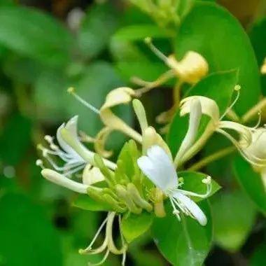 孕妇能吃槐花蜂蜜吗 过期蜂蜜 蜂蜜的种类作用与功效 蜂蜜酒味道 跑步蜂蜜