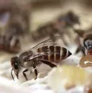 蜂蜜黄油酥 牛西蜂蜜 小白鸡配蜂蜜的功效是什么 蜂蜜提取机 吃蜂蜜会胃疼吗