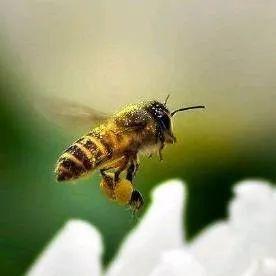 陈皮蜂蜜水 慈溪蜂蜜 蜂蜜与四叶草第二部国语版 孕妇可以蜂蜜柚子茶吗 蜂蜜吃法及营养