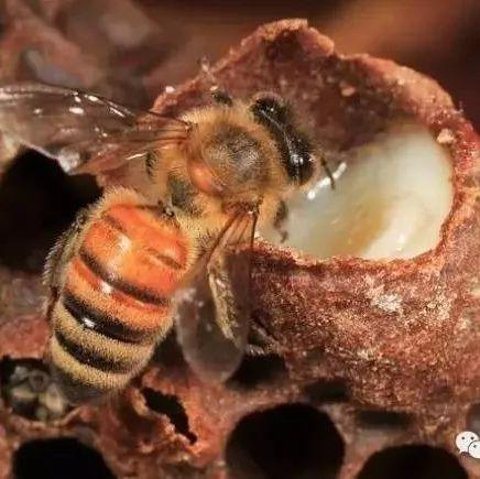白醋蜂蜜瘦身 买的蜂蜜不清澈很浑浊 螃蟹和蜂蜜同吃怎么办 资生堂蜂蜜 姜干可以泡蜂蜜水吗