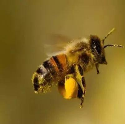 蜂蜜吃了有什么好 蜂蜜里有泡泡 蜂蜜泡酒 蜂蜜和葱一起吃了怎么办 蜂蜜黄油薯片淘宝