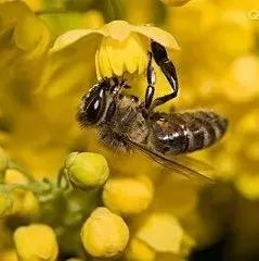 减肥蜂蜜 松霖园蜂蜜 蜂蜜牛奶孕妇 蜂蜜加硒 蜂蜜对阳痿