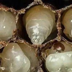 蜂蜜tu 蜂蜜柚子茶农协 合肥蜂蜜公司 晚上什么时候喝蜂蜜水 姜加蜂蜜