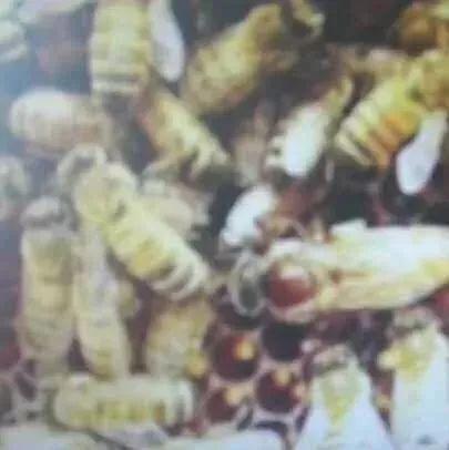 降血脂、调节生理机能——蜂王浆注定不是普通食品