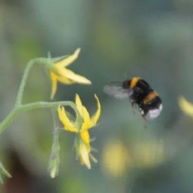 王玉竹蜂蜜 蜂蜜结晶了好不好 蜂蜜菊花雪梨水果茶 蜂蜜店加盟 四叶草与蜂蜜