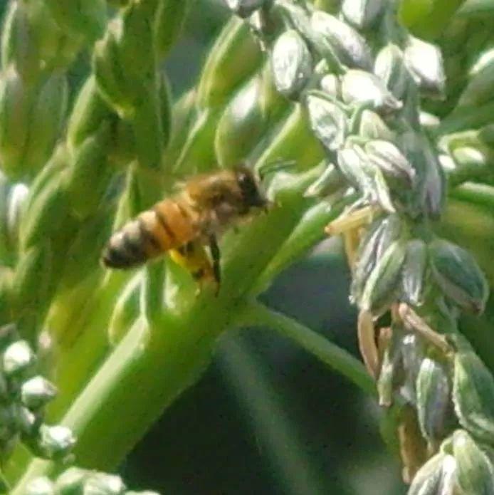 科学研究 花粉饲料对雄蜂质量的影响试验
