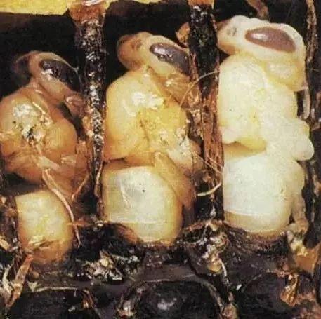 菠萝和蜂蜜一起吃 蜂蜜可以和生姜一起喝吗 蜂蜜柠檬茶 蚂蚁与蜂蜜 常温可以保存蜂蜜吗