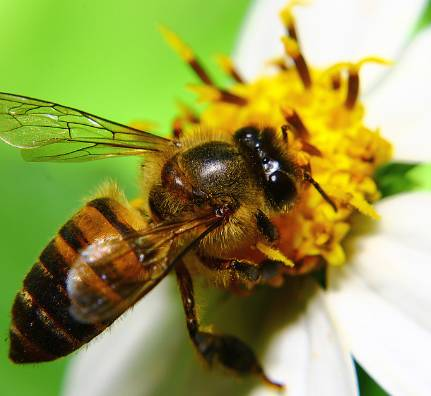 牛奶蜂蜜香蕉面膜怎么做 蜂蜜和纯牛奶可以洗脸么 藏红花和蜂蜜 鼻炎可以吃蜂蜜吗 蜂蜜怎么才能治牙疼