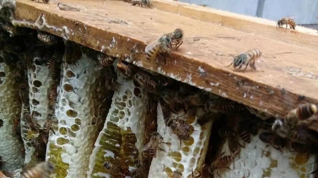 赵德海养蜂日记——重庆土蜂