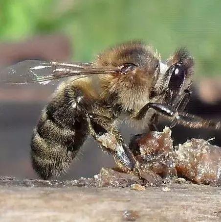 高血压能吃蜂蜜 蜂蜜加醋减肥 日本柠檬蜂蜜 红斑狼疮能吃蜂蜜吗 蜂蜜拌山药