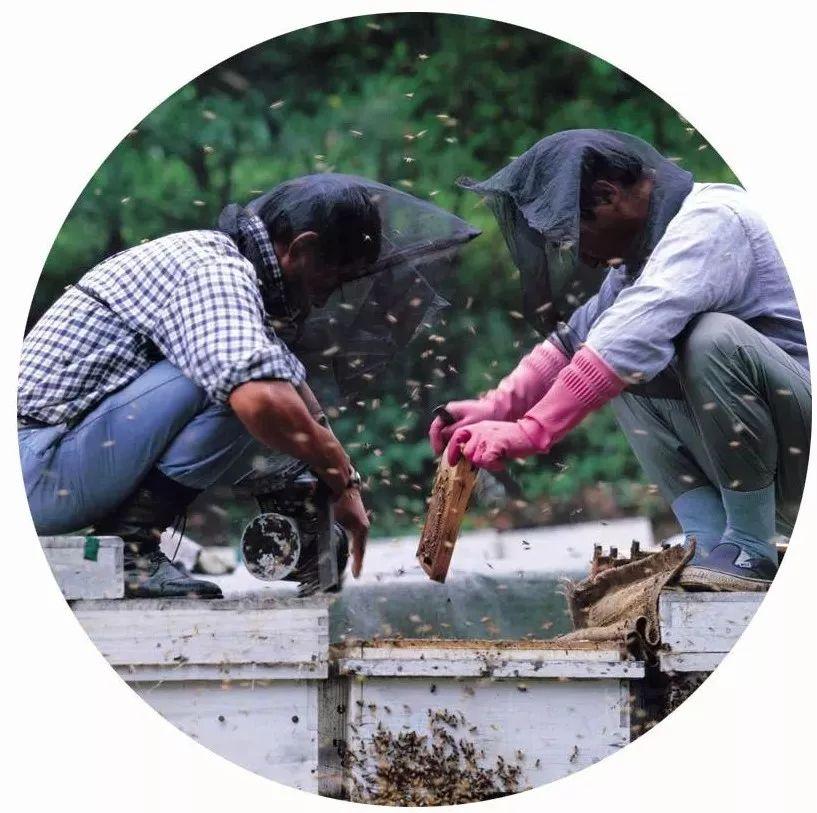 逐步进入流蜜期,流蜜期的蜜蜂该如何管理呢?